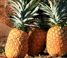 Organic Pineapples from India