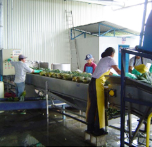 Processing of Pineapple Products